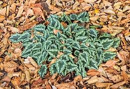 Nieuw blad van Cyclamen hederifolium tussen herfstbladeren van bomen. (d.j.b.) 01.jpg