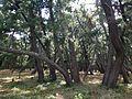 Niji Pine Grove 15.jpg