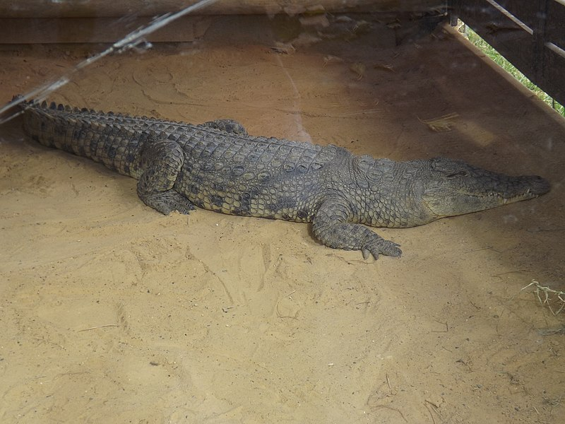 קובץ:Nile Crocodile 03.jpg
