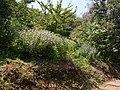 Nilgirianthus reticulatus (Stapf) Bremek. (15215358500).jpg
