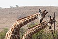 Nkomazi Game Reserve, South Africa (22030000714).jpg
