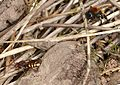 Nomada bee. Probably N. panzeri laying in Andrena fulva nests - Flickr - gailhampshire (1).jpg