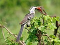 Northern Red-billed Hornbill, Tarangire National Park - 2015-01-12.jpg