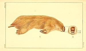 Marsupial mole - Image: Notoryctes typhlops