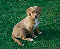 Nova Scotia Duck Tolling Retriever-Welpe.jpg