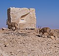 Nubian ibex passing sculpture in Mitzpe Ramon (40377).jpg
