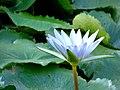 Nym-phaeaceae.jpg