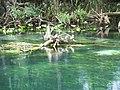 Ocala Silver River birds01.jpg