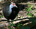 Ocellated Turkey (Meleagris ocellata) facing right - Calakmul Biosphere Reserve.jpg
