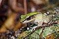 Odorrana chloronota, Chloronate huia frog (adult) - Huai Yang Waterfall National Park (29703520860).jpg