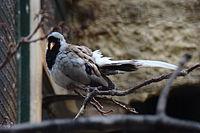 Oena capensis080527