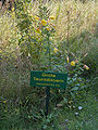 Oenothera erythrosepala02.jpg