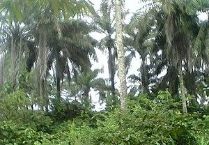 Njaba River - Image: Oil Palm Plantation, Awo omamma