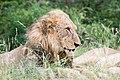Old lion (2252405881).jpg