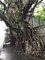 Old tree in King George V Memorial Park, Hong Kong, south east entry.jpg