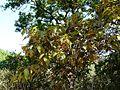 Olea dioica Roxb. (3206513747).jpg