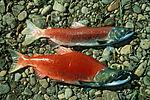 Male and female sockeye salmon.