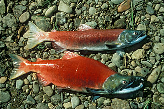 Oncorhynchus - Sockeye salmon, Oncorhynchus nerka Female (above) and male in mating season Note male with kype (hooked snout)