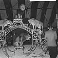 Opdracht dagblad De Tijd , piste van het circus Boltini leeuwen, Bestanddeelnr 914-0994.jpg