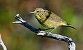 Orange-crownedWarbler-7JUL2016.jpg