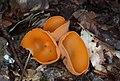 Orange Peel Fungus Aleuria aurantia.jpg