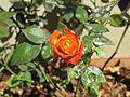 Orange Roes.jpg