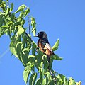 Orchard Oriole (7098679965).jpg