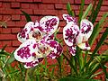 Orchidées-Jardin botanique de Peradeniya-Sri Lanka (9).jpg