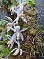 Orchids (Coelogyne swaniana) (15495986192).jpg