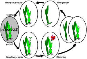 Dormancy - Annual life cycle of sympodially growing orchids with dormancy after completion of new growth/pseudobulb, e.g., Miltonia, or Odontoglossum