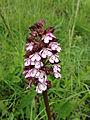 Orchis pourpre - Orchis purpurea (8738230791).jpg