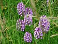 Orchis pyramidal Champcevinel (28).JPG