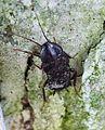 Oriental Cockroach. Blatta orientalis - Flickr - gailhampshire (1).jpg