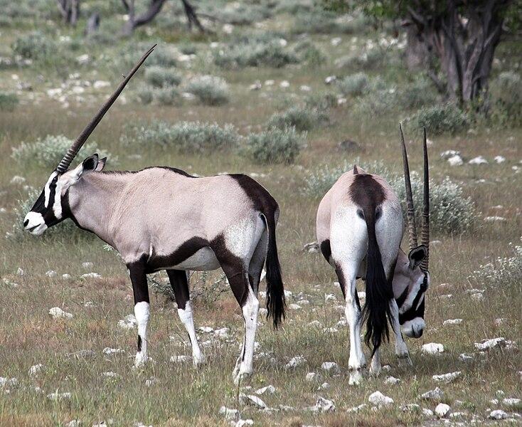 File:Oryxantilopen anagoria.jpg