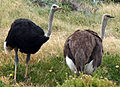 Ostriches cape point cropped 2.jpg