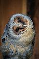Owls @ Dragonheart, Enschede (9549524312).jpg