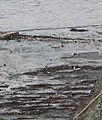 Oystercatcher, Cockenzie Harbour - geograph.org.uk - 369983.jpg