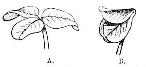 PSM V18 D523 Trifolium repens in diurnal and nocturnal state.jpg
