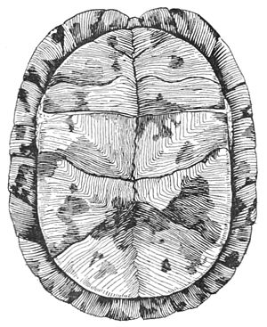 PSM V38 D072 Underside of box turtle showing closed shell.jpg
