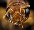 Pachyprosopis cornuta, f, australia, face 2014-11-02-01.19.12 ZS PMax (15169389103).jpg