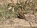 Paddyfield Pipit (Anthus rufulus) (46541682302).jpg
