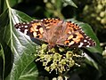 Painted Lady (29865866541).jpg