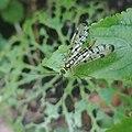 Panorpa germanica 145664247.jpg