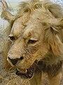 Panthera leo 01.JPG