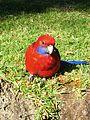 Papagei (31490027676).jpg