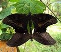 Papilio helenus - Red Helens mating 04.JPG