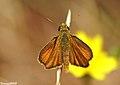 Parc Natural del Garraf 10 - Papallona - Thymelicus actaeon (2562518638).jpg