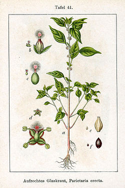 Parietaria officinalis Sturm41.jpg