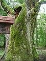 Park Narodowy Bory Tucholskie - Dąb Bartuś (2).jpg
