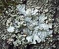 Parmelia sulcata (50103784876).jpg